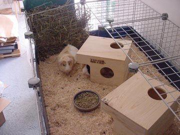 Guinea pig toys and play for Guinea pig homes