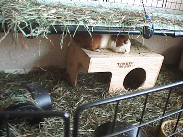 Guinea pig accessories for How to build a guinea pig house